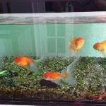 gold fish at front door