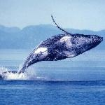 Humpback Whale Breaches the Water