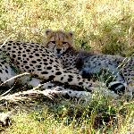 Baby cheetah