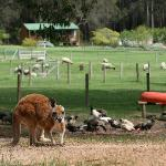 Choppa the resident red kangaroo