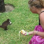 Feeding the coati's is frowned upon, but...
