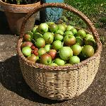 Harvest time - apples picked in the orchard