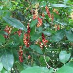 the bignay fruit for wine