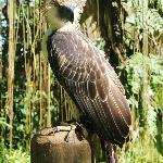 Full view of the mighty philippine eagle