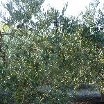 Oliviers chargés de fruits quelques semaines avant la récolte