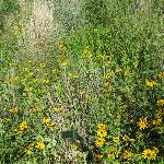 Native plants bloom in the meadow that borders 4 miles of paths