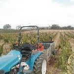 Harvest in our vineyard
