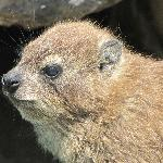 Dassie (Rock Hyrax) On Table Mountain