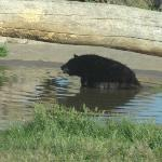 Black bear cooling in the pond