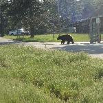 """gaurd bear"" he just walked back and forth across the gate"