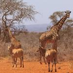 Giraffe and Eland at the waterhole in the Conservancy