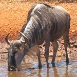 Wildebeest at the waterhole