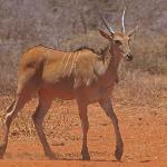 Eland at the waterhole