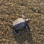 a green sea turtle hatchling on the beach!