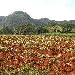 campi di tabacco