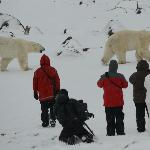 Taken from viewing platform as polar bears walk past our group