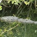 Alex, the crocodile - seen on eco-tour