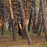 Pine trees around camping area