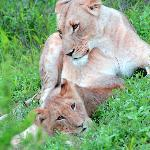 Lovely shot of a Lioness and her cub
