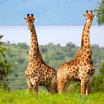 Giraffes at Pongola Game Reserve