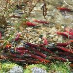 Don't forget to visit the Salmon run at Kokanee Provincial Park