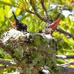 Crias de colibrí muy cerquita del cenote