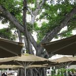 The Banyan Tree Beautiful, natural, tropical shade at the Beachbar