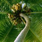 Palm tree coconut