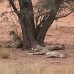 Cheetahs lazying mid-day