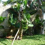 Banana tree in the garden
