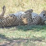 cheetah basking