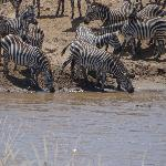 zebra with close call to croc!