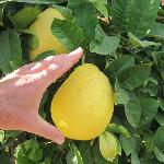 Lemons the size of large grapefruits!
