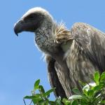 Young vulture outside our tent