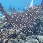 one of 13 eagle rays seen evrey day on the house reef