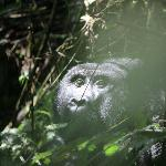 Gorilla trekking pics