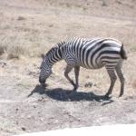 Zebras of Lake Nakuru National Park