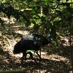 Cassowarries spotted at Emmagen Creek