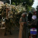 Camels in the village