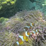 Clown fish amidst the anenomes