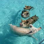 The famous swimming piggies, coming to a boat for scraps