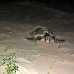 Schildpad die terug gaat naar zee