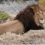 Majestic Male Lion At Inverdoorn