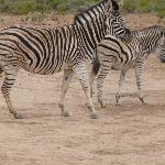 Herd of Zebra At Inverdoorn