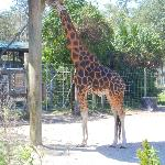 Giraffe at feeding station