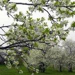 Яблоневые сады в мае