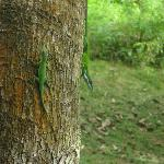 what we'd call chameleons in Texas, but don't change color