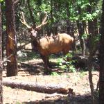 Elk you may see on ride