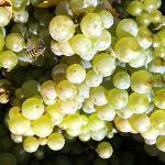 Chardonnay from Stoller Vineyard