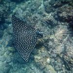 Spotted Rays at Los Arcos
